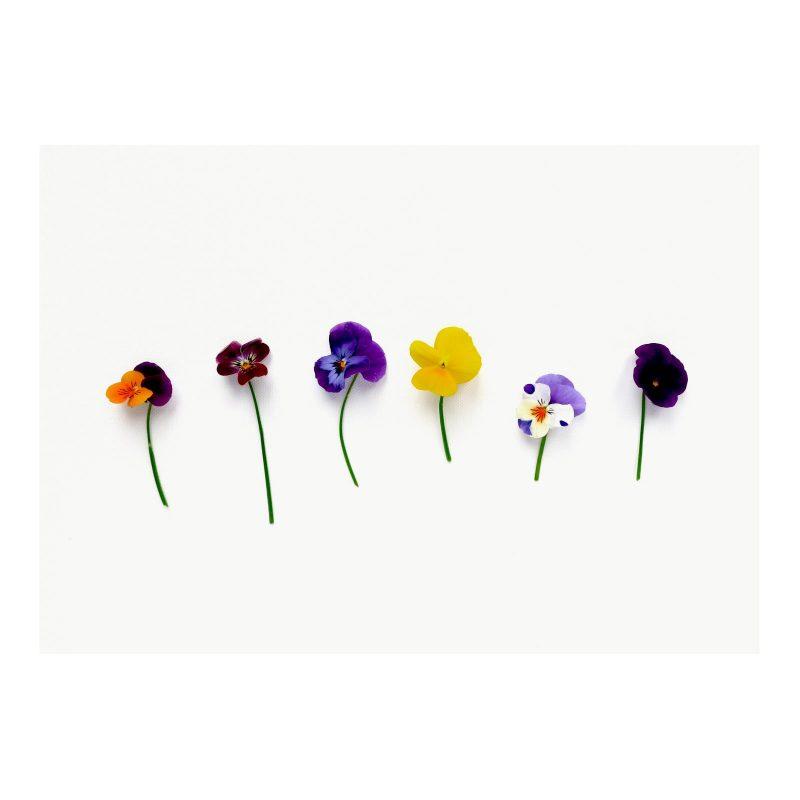 Vibrant Violas